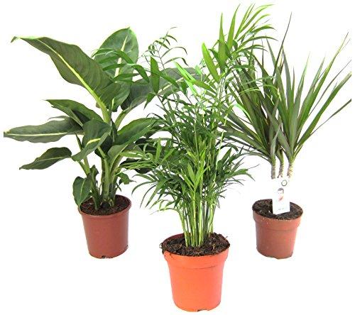 Amazon.de Pflanzenservice - Juego de 3 plantas de interior, 1 x Dieffenbachia, 1 x Chamaedorea 1 x Dracena marginata, maceta 10-12 cm