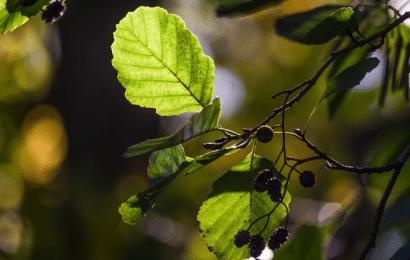 Aliso Blanco y Negro: Cómo y Dónde Plantar el Árbol, Cuidados y Enfermedades.