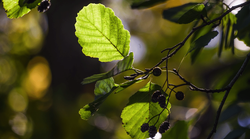 Aliso Blanco y Negro: Cómo y Dónde Plantar el Árbol