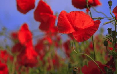 Amapola, que Significa en el Lenguaje de las Flores.