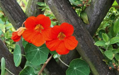 Capuchina Trepadora: Siembra, Cultivo y Cuidado de las Flores