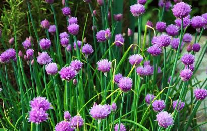 Cebollino: Cultivo en Macetas y en el Jardín.