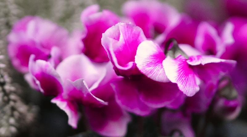 Ciclamen en Maceta y al Aire Libre: Cuidado y Cultivo.