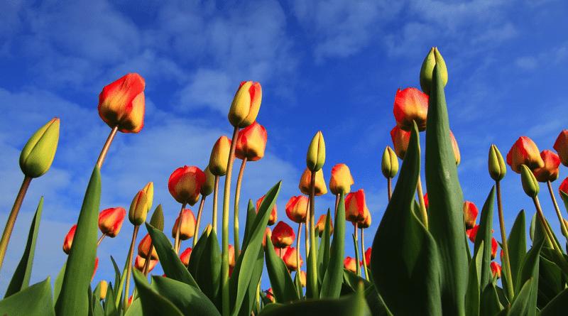 Cuándo y Cómo Plantar Tulipanes: Cultivo y Floración.