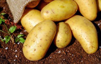 ¿Cuándo Se Plantan las Patatas?