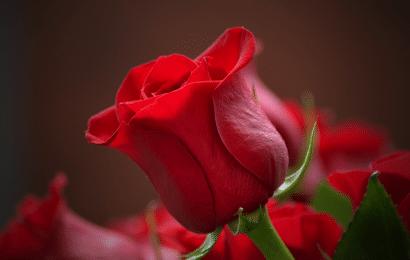 Enfermedades de las Rosas y Cómo Tratarlas