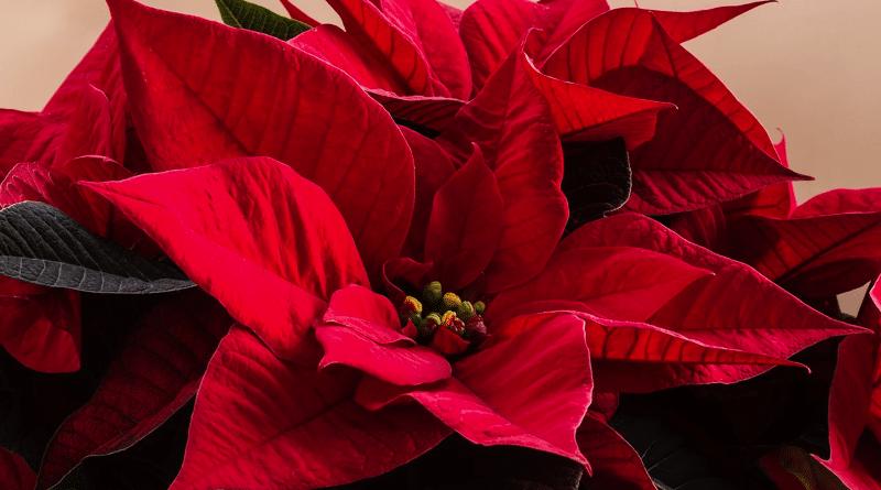 Estrella de Navidad, Como Hacer que Vuelva a Florecer