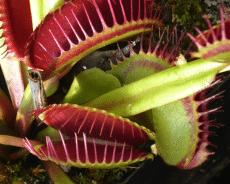 Las Plantas Plantas insectívoras: la Dionaea Muscipula
