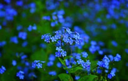 No Me Olvides: Cultivo y Significado de la Flor