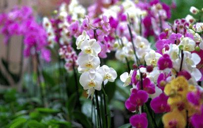 Orquídea, Hojas Amarillas: Cómo Cuidar la Planta.