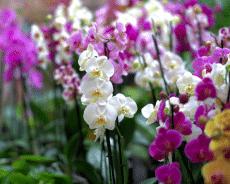 Orquídea, que Significa en el Lenguaje de las Flores.