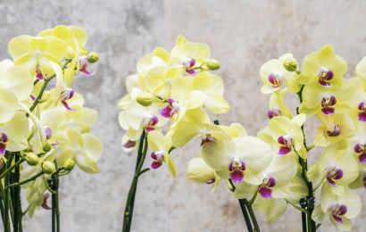 Orquídeas Phalaenopsis, Cómo Cultivarlas: Cuidado y Poda.