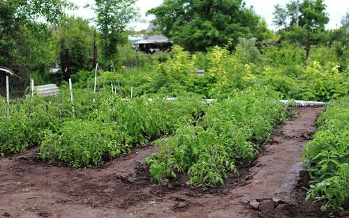 Plantas Tomateras