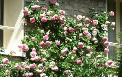 Rosas Trepadoras: Como Plantar, Cultivar y Podar