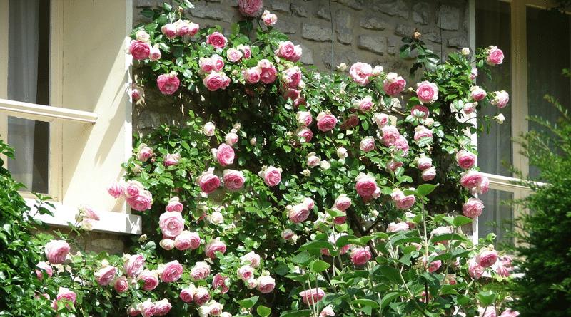 Rosas Trepadoras: Como Plantar