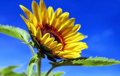 Significado del Girasol en el Lenguaje de las Flores