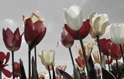 Significado de Tulipán: Flores Amarillas, Blancas, Rosadas, Púrpuras