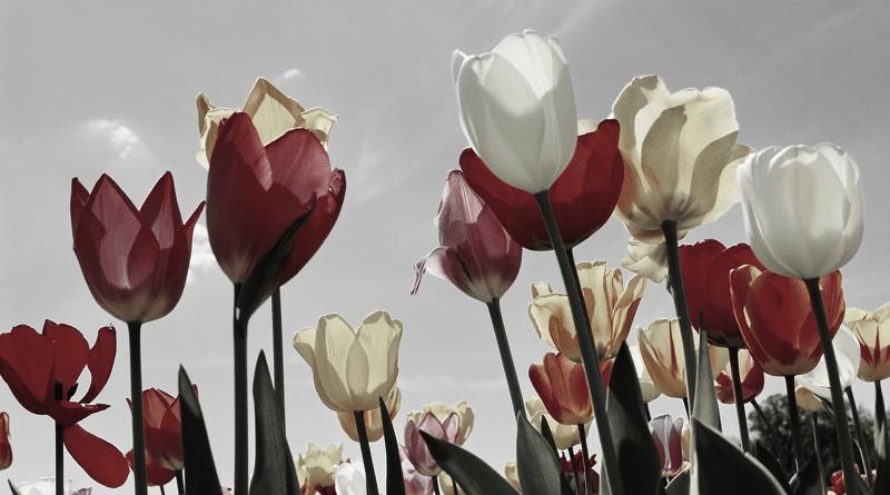 Significado de Tulipán: Flores Amarillas