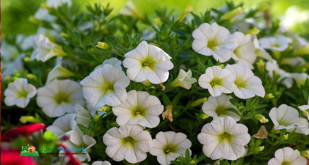 Petunia, el significado de las flores y los ramos